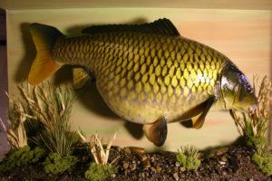 rybí trofej